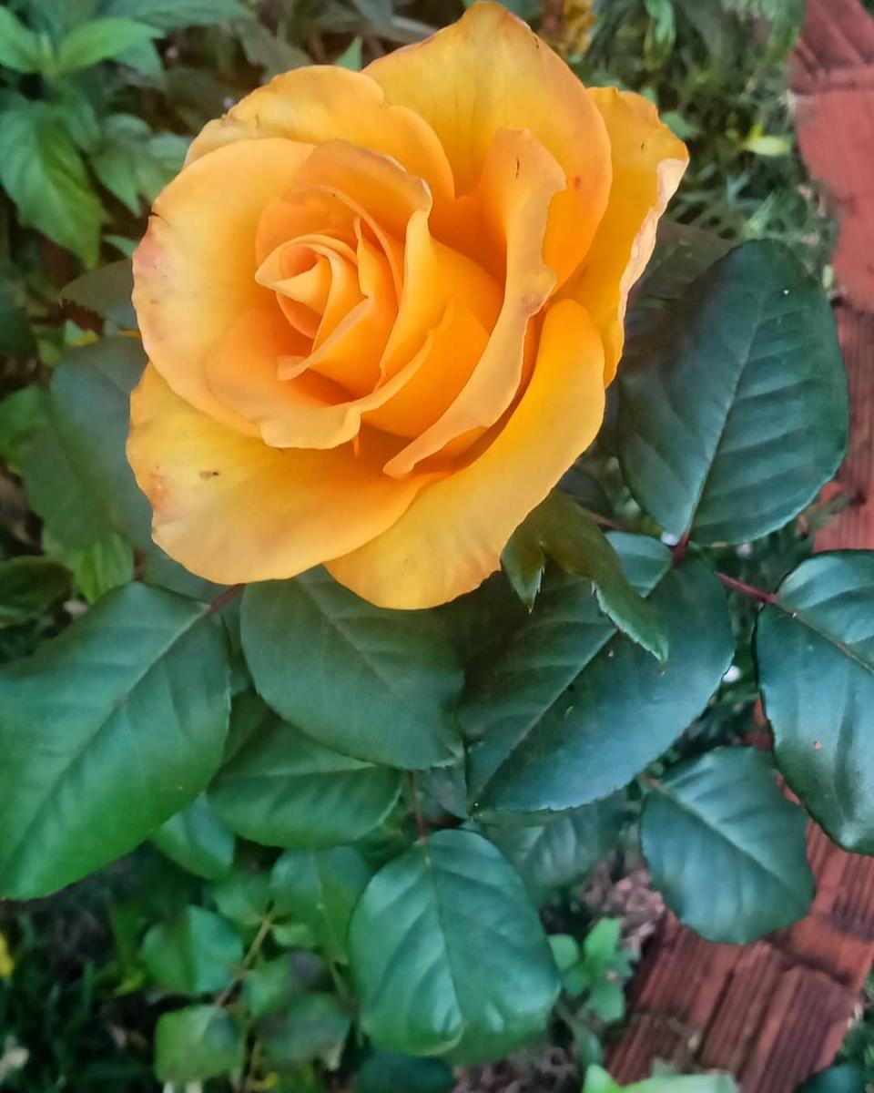 deli_rose